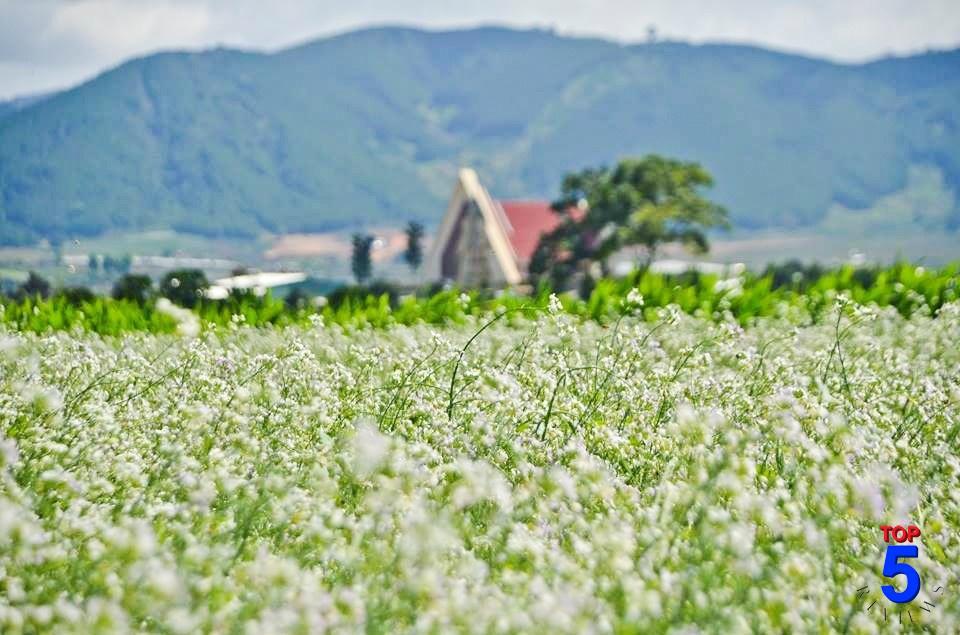 Hoa cải trắng trái mùa đà lạt