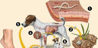 Bệnh sán chó